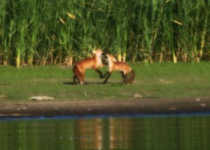 Foxes on the shore