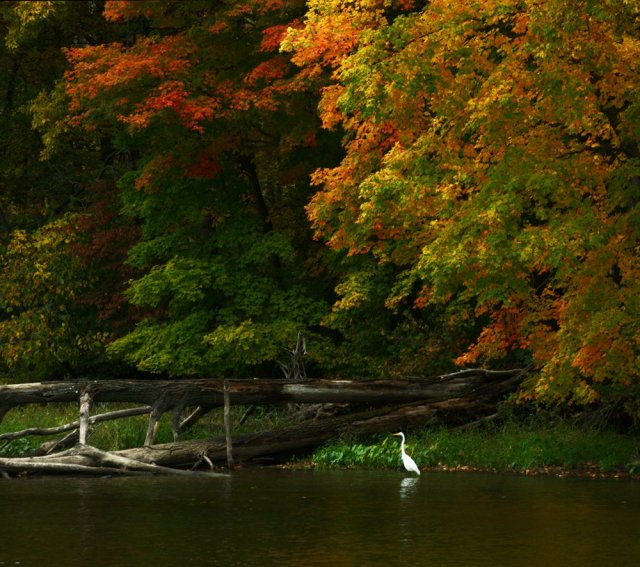 An egret in front of the fall foliage on the Champlain Canal